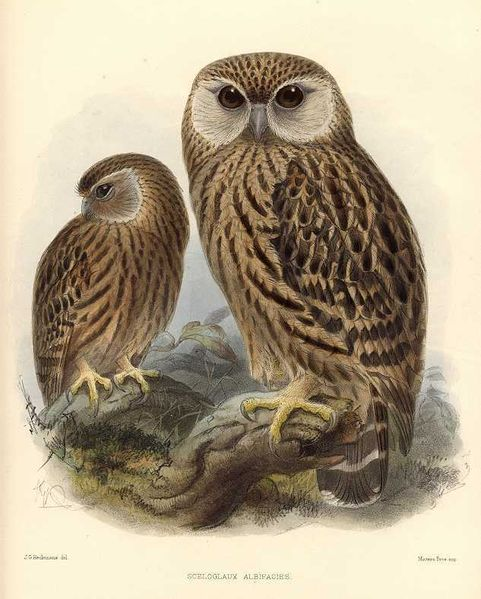 481px-keulemans_laughing_owl.jpg